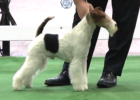 Terrier World - BIS CH TRAVELLA STRIKING STEEL Breed: Fox Terrier (Wire)
