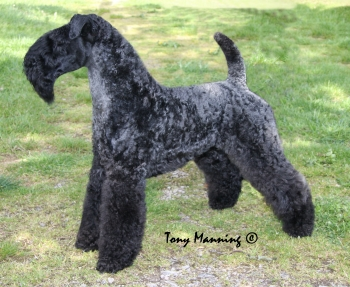 Best Of Breed Kerry Blue Terrier National Dog Show