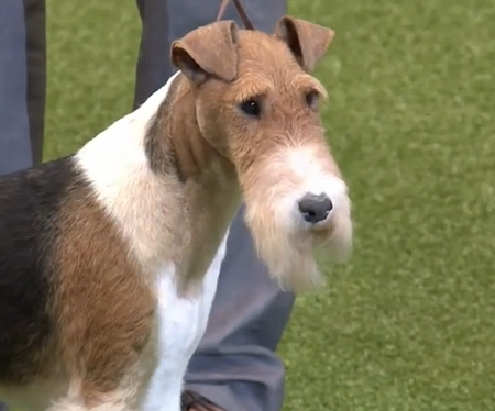 Terrier World - BEST OF GROUP CH KING ARTHUR VAN FOLINY HOME Fox Terrier (Wire)