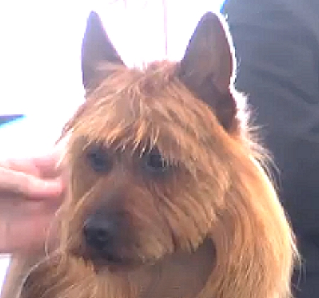 Australian Terrier Group Winner Blackpool 15
