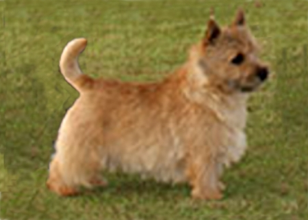 GROUP 1	RAGUS MR OO'SEVEN Breed: Norwich Terrier