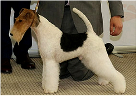 GROUP 1	AM CH HAMPTON COURTS MONTE CRISTO Breed: Fox Terrier (Wire)