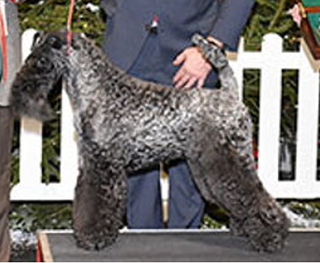 CRUFTS 2020 BEST OF GROUP INDIAN PRINCESS AT PERRISBLU Kerry Blue Terrier Bitch