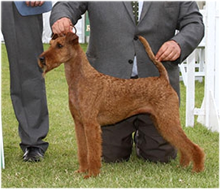 AM CH IRVONHILL LEAVE IT TO ME Breed: Irish Terrier