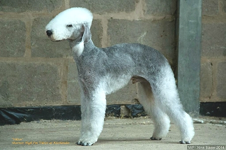 Ch Sharnor High I'm Viktor At Kierlander Bedlington Terrier