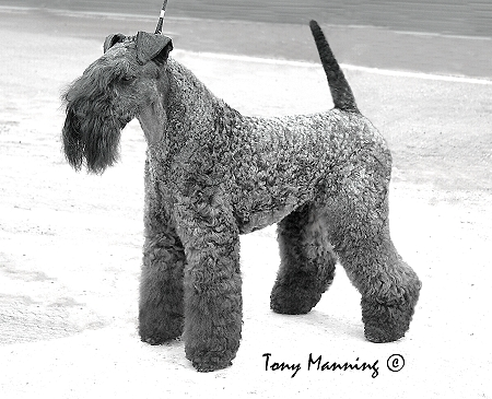 Terrier World - HALLSBLU FIBBER MAGEE IR JUN CH Breed: Kerry Blue Terrier