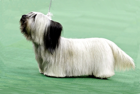 Westminster Group Winner GCH Cragsmoor Good Time Charlie: Skye Terrier