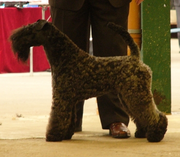 KENMILEVEN FIRST CLASS FOR KAMAGHAN Res CC National Terrier